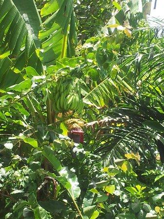 SurfBreak Cabarete : banana tree at the pool
