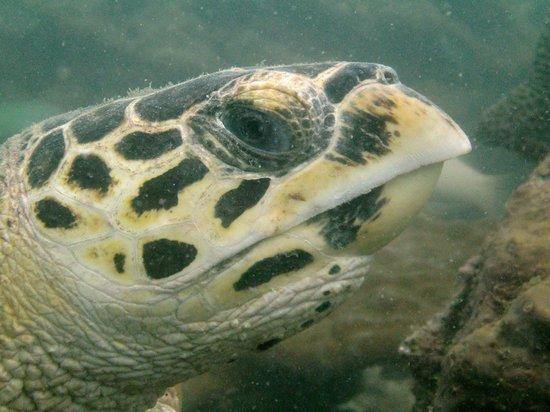 Mermaids Dive Center Pattaya: Turtle at Koh Rin