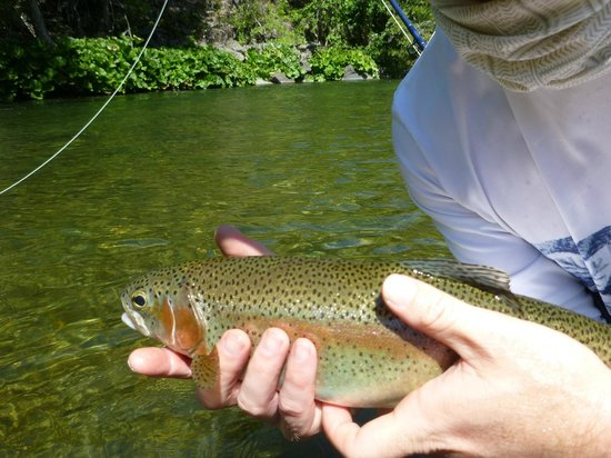 Jack Trout Fly Fishing: Nice Rainbow