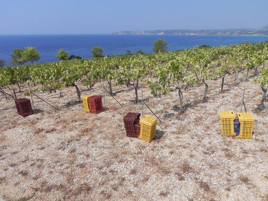 Stella Vineyard Studios: Grape harvest