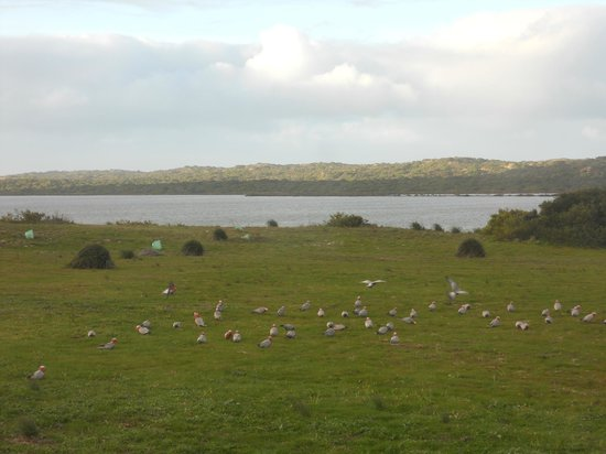 Coorong Wilderness Lodge: morning view of galahs eating outside my room