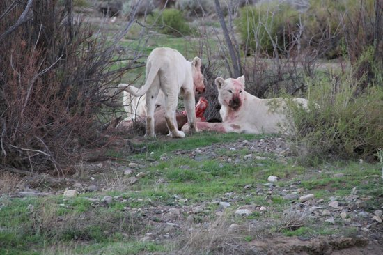 Sanbona Wildlife Reserve - Tilney Manor, Dwyka Tented Lodge, Gondwana Lodge: White Lion Kill
