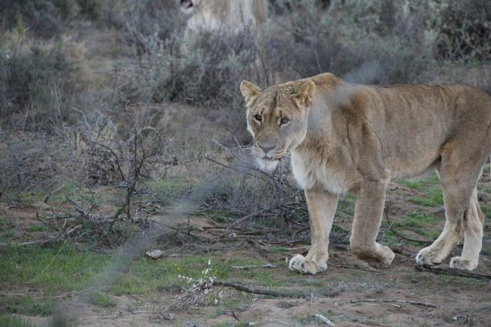 Sanbona Wildlife Reserve: Less than 5m away