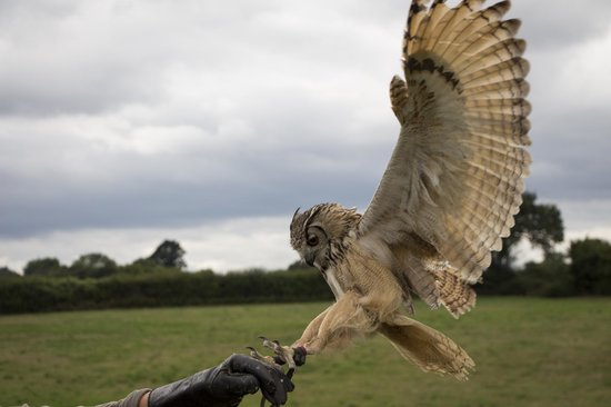Countrywide Falconry: owl landing on hand