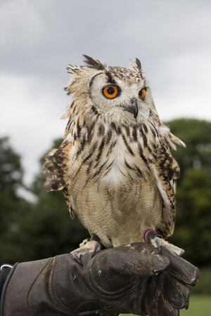 Countrywide Falconry: owl