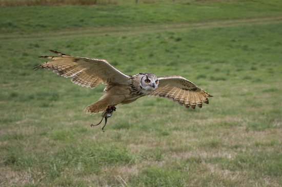 Countrywide Falconry: owl in flight