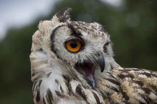 Countrywide Falconry: owl talking
