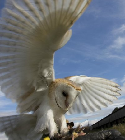 Countrywide Falconry: owl landing