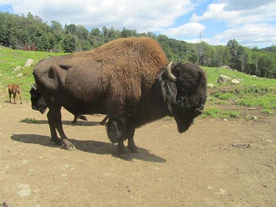 Kanatha-Aki: bison