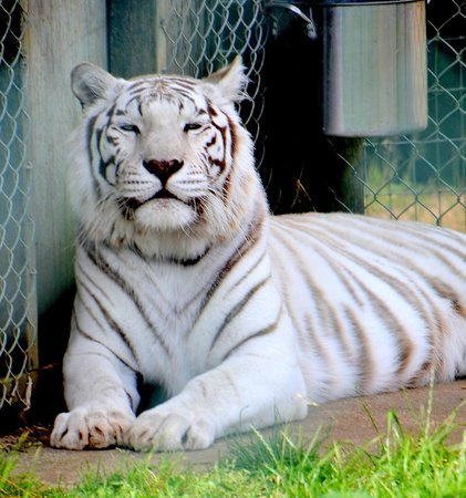 White Tiger Picture And Images