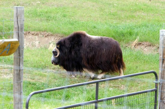 Large Animal Research Station : Musk Ox