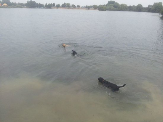 Cotswold Country Park & Beach: Teaching the puppies to swim