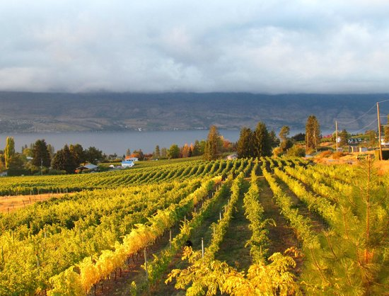 Little Straw Vineyards: Harvest Time Vista