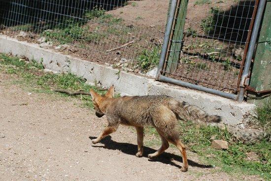 La Estacion de Cria de Fauna : un zorro que se habia escapado y se fue a pasear