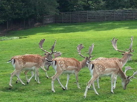 Wild Animals Park (Park Dzikich Zwierzat Kadzidlowo): do danieli można podejść bardzo blisko