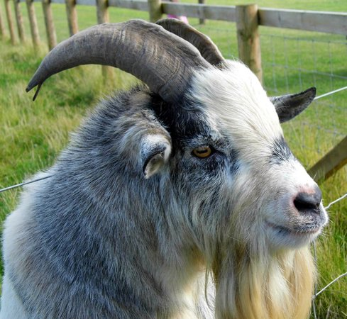 Playdale Farm Park : my favorite billy goat gruff