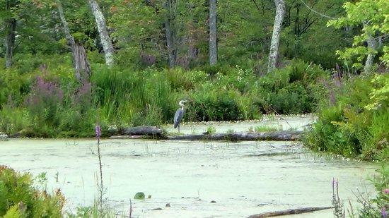 Charleston Lake Provincial Park : blue heron