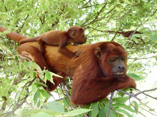 Región de Loreto, Perú: Mono aullador o coto