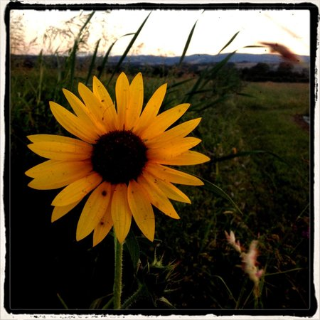 Borgo Santa Maria: Sunflower