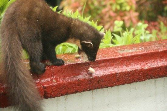 Glenloy Lodge Guest House: The daily marten