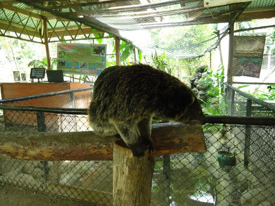 Palawan Wildlife Rescue and Conservation Center: bearcat