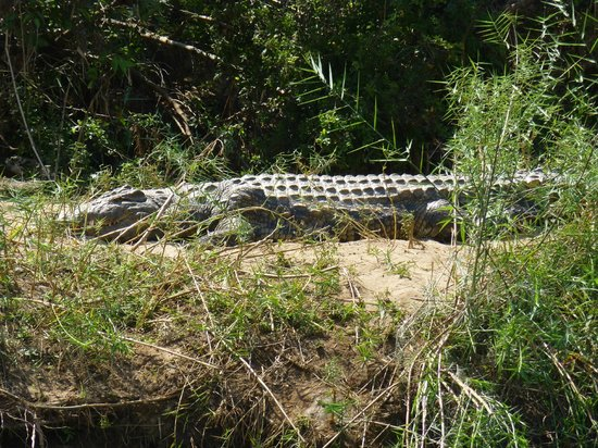 Bua River Lodge: big croc