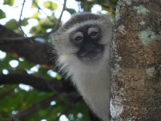 Bua River Lodge: cheeky monkey