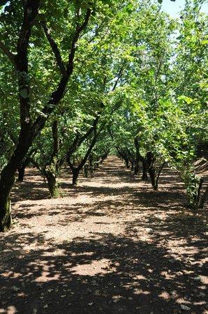 Agriturismo Biologico Barone A. Negri di Gaiano: Hazelnut Trees