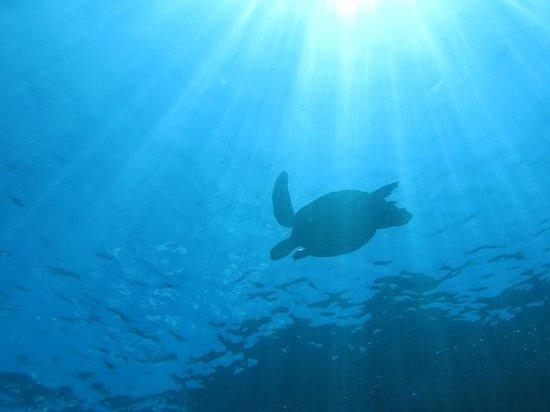 Aqua Adventures: Green Sea Turtle at Makena (Turtle arches)