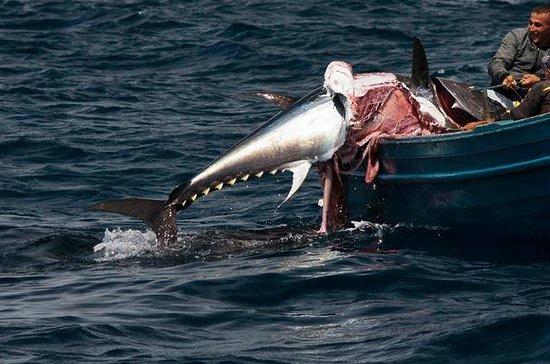 FIRMM Whale Watching : Thunfisch von Orca angefressen