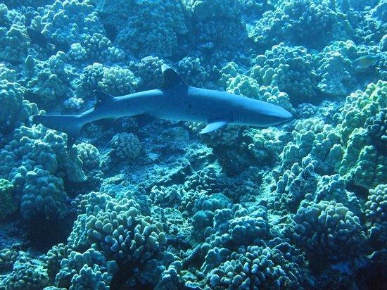 Aqua Adventures: White tip reef shark at Molokini.