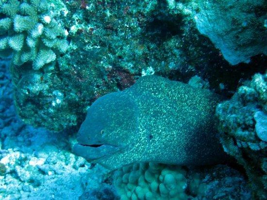 Aqua Adventures: White Mouth Moray at Molokini
