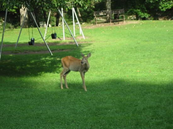 Pipestem Resort State Park: Deer are everwhere.