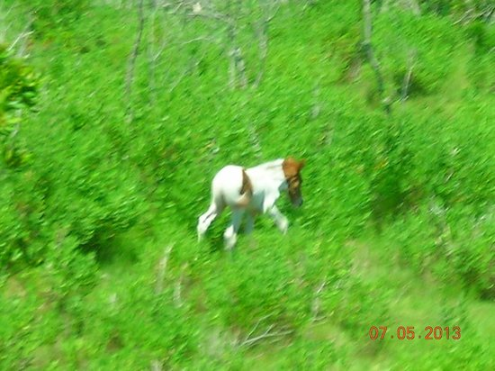 Chincoteague Natural History Association  Wildlife Tour : Pony from bus window