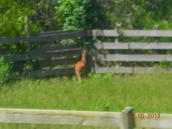 Chincoteague Natural History Association  Wildlife Tour : View of pony from bus
