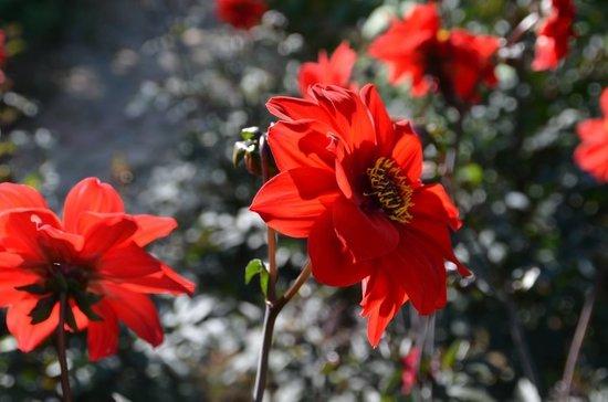 Jardin du peintre Andre van Beek : Dahlias