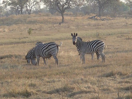 Great Plains Conservation Selinda Camp: Zebra grazing at the reserve