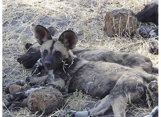 Selinda Camp: The wild dogs