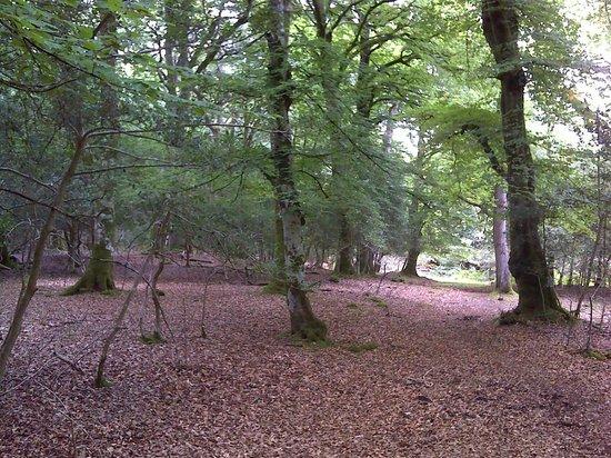 Ocknell and Longbeech Campsites: Dear Stalking, Ocknell campsite , New forest