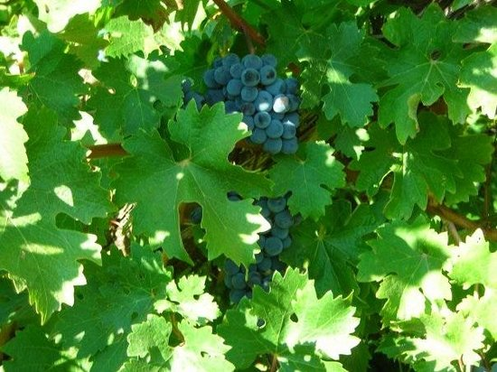 Reustle Prayer Rock Vineyards: Time for harvest