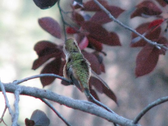 Shadow Mountain Lodge and Cabins: Humming bird