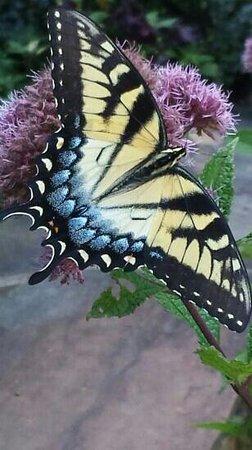 Hatcher Garden & Woodland Preserve: beautiful butterflies. Can't believe I caught this shot.
