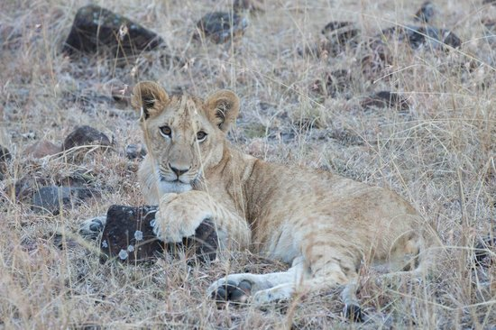 Kicheche Bush Camp: Lion cub
