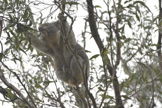 koala reaching for leaves in the gum tree picture of. Black Bedroom Furniture Sets. Home Design Ideas