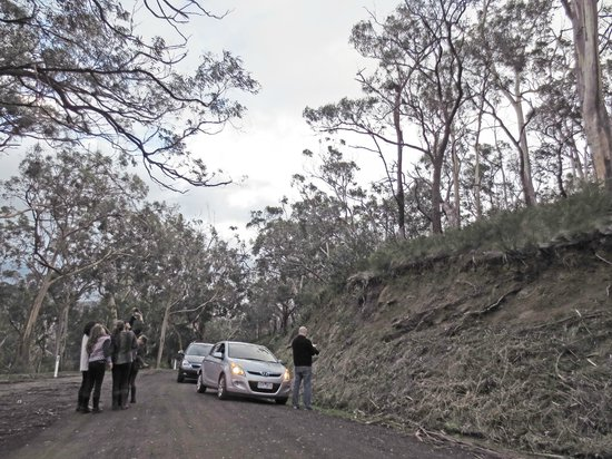Kennet River Koala Walk: Travelers getting out of cars to peer at koalas high up in the trees!