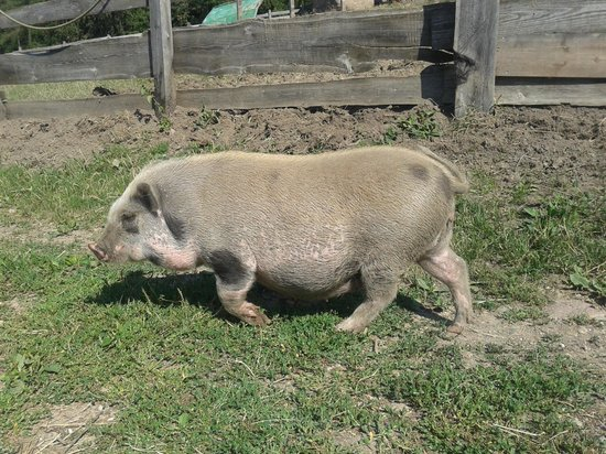 Wiedenhof: miss piggy