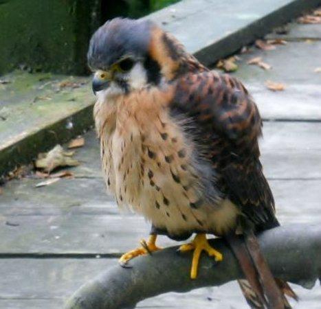Ebbw Vale, UK: American Falcon