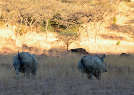 Three Trees at Spioenkop: White Rhinos, Spioenkop Game Reserve (2/3): a little frisky, and their tales are up