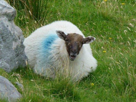 Stella Maris B&B: Sheep are everywhere