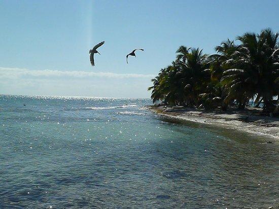 Laughing Bird Caye National Park: Birds at Laughing Bird